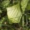 Claire Sutter - Arum maculatum L. [1753]