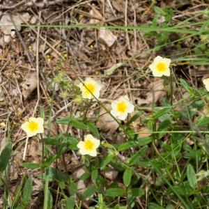 Photographie n°94475 du taxon Helianthemum grandiflorum subsp. grandiflorum