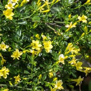 Photographie n°94492 du taxon Jasminum fruticans L. [1753]
