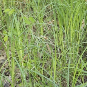 - Carex flacca subsp. flacca