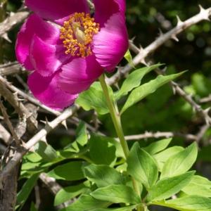Paeonia officinalis subsp. microcarpa (Boiss. & Reut.) Nyman (Pivoine de montagne)