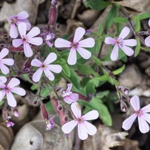 Photographie n°94678 du taxon Saponaria ocymoides L.