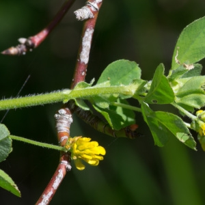 Photographie n°94697 du taxon Trifolium campestre C.C.Gmel. [1808]