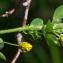 Jean-Jacques Houdré - Trifolium campestre C.C.Gmel. [1808]