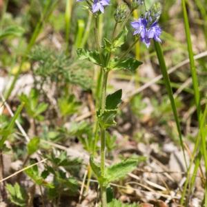 Photographie n°94704 du taxon Veronica austriaca L.