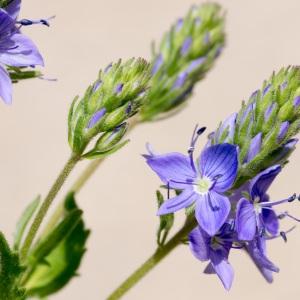 Photographie n°94706 du taxon Veronica austriaca L.