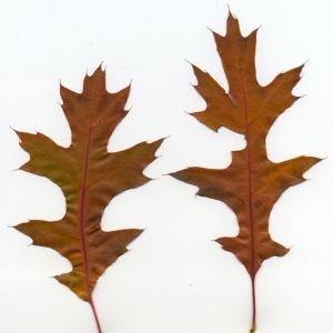 Photographie n°94722 du taxon Quercus palustris Münchh.