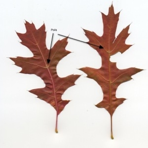 Photographie n°94723 du taxon Quercus palustris Münchh.