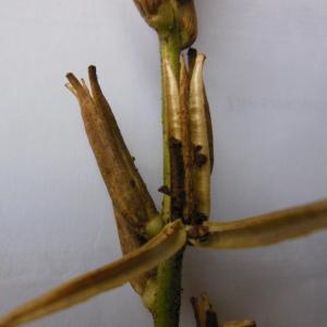 Photographie n°94754 du taxon Oenothera biennis L. [1753]