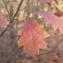 Claire Sutter - Quercus rubra L.