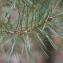 Claire Sutter - Pinus sylvestris L. [1753]