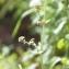 Claire Sutter - Clinopodium vulgare L. [1753]