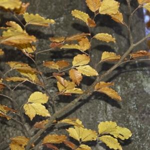 Photographie n°94790 du taxon Fagus sylvatica L.