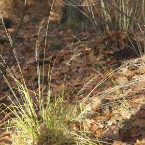 Photographie n°94795 du taxon Deschampsia cespitosa (L.) P.Beauv. [1812]