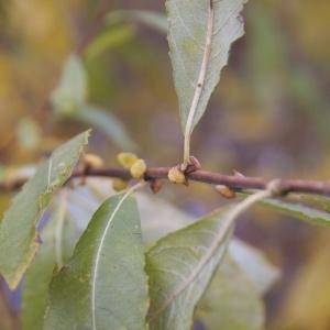 Salix aurita L. (Petit Marsault)