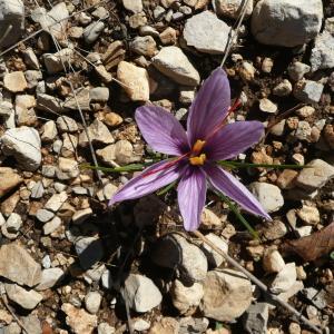 Photographie n°94821 du taxon Crocus sativus L.