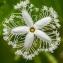 Trichosanthes cucumerina L. [nn] par Denis Nespoulous le 12/07/2011 - Montpellier