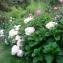 - Hortensia japonica J.F.Gmel.