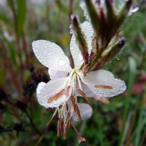 Oenothera lindheimeri (Engelm. & A.Gray) W.L.Wagner & Hoch (Butterfly Gaura)