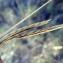 Emmanuel Stratmains - Brachypodium phoenicoides (L.) Roem. & Schult. [1817]