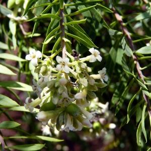 Photographie n°94929 du taxon Daphne gnidium L. [1753]