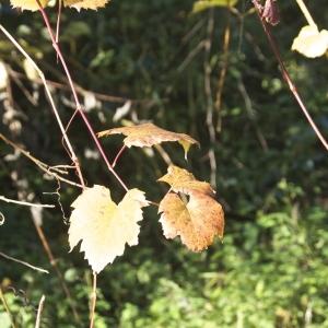 Vitis vinifera subsp. sylvestris (C.C.Gmel.) Hegi (Lambrusque)