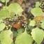 Claire SUTTER - Solanum nigrum L.