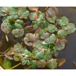 Ludwigia peploides (Kunth) P.H.Raven subsp. peploides (Jussie)