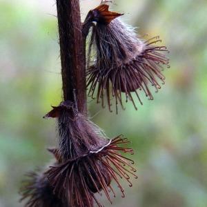- Agrimonia eupatoria L. [1753]