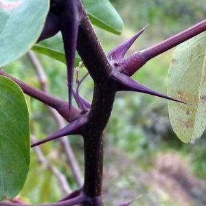 Photographie n°95144 du taxon Robinia pseudoacacia L.