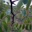 Emmanuel Stratmains - Robinia pseudoacacia L.