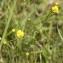Claire Sutter - Ranunculus acris L. [1753]