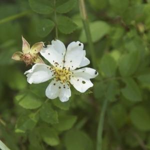 Photographie n°95215 du taxon Rosa canina L. [1753]