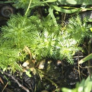 Photographie n°95239 du taxon Hottonia palustris L.