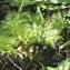 Claire Sutter - Hottonia palustris L.