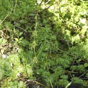 Photographie n°95241 du taxon Hottonia palustris L.