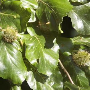 Photographie n°95251 du taxon Fagus sylvatica L.