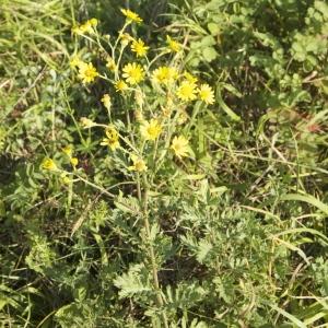 Photographie n°95339 du taxon Senecio jacobaea L. [1753]