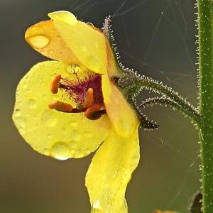 Verbascum blattaria L. (Molène blattaire)