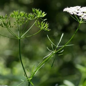Photographie n°95380 du taxon Conopodium majus (Gouan) Loret