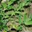 Jean-Jacques HoudrÉ - Silene vulgaris (Moench) Garcke