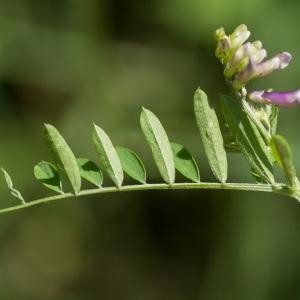 Photographie n°95423 du taxon Vicia cracca L. [1753]