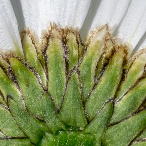Photographie n°95436 du taxon Leucanthemum vulgare Lam. [1779]