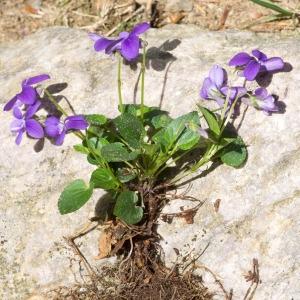 Photographie n°95543 du taxon Viola canina L. [1753]