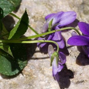 Photographie n°95544 du taxon Viola canina L. [1753]