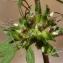 Marie  Portas - Ambrosia artemisiifolia L.