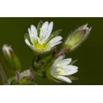 Cerastium fontanum Baumg. subsp. fontanum