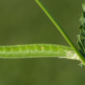 Photographie n°95689 du taxon Vicia sativa subsp. nigra (L.) Ehrh. [1780]