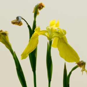 Photographie n°95727 du taxon Iris pseudacorus L. [1753]