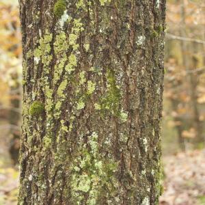 Photographie n°95748 du taxon Quercus robur L. [1753]